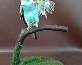 taxidermy of 2 head freak parrot made by 2 parrot,open wings posetion mounted in glass dome 2#
