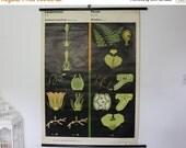 Vintage Botanical Pull Down School Chart, Fern, Jung Koch Quentell