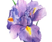 Iris print of watercolour painting, 5 by 7 size, I13016, Iris watercolor painting, iris print, flower watercolor painting, botanical art