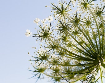 Wildflower Photography, Fine Art Botanical Photograph, Queen Anne's Lace, Minimalist Flower Art, Nature Photograph, Blue and Green, Daydream