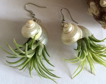 Air Plant Earring with Iona in shell comes with Wall Art Display piece