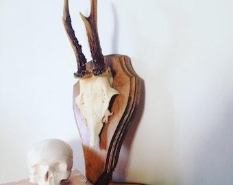 Roe Deer Antlers (12)