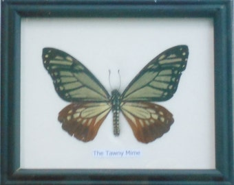 Real Single Tawny Mime Butterfly Collectible Taxidermy framed /BTF01NN2