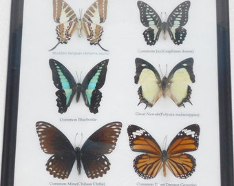 REAL 6 BEAUTIFUL BUTTERFLY Collection in Frame / BF12j