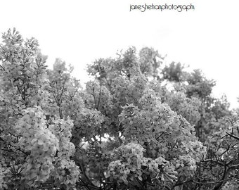 Black and White Lilac Photograph