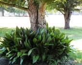 12 healthy aspidistra Louisiana Cast Iron Plant bulbs rhizomes plants shade loving or houseplant