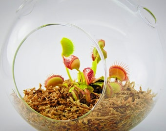 how to plant a venus fly trap in a terrarium