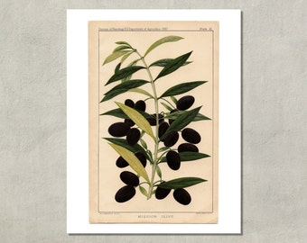Olives Botanical Print, 1887 - 8.5 x 11 Print -  also available in 11x14 and 13x19 - see listing details