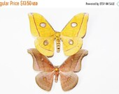 15% Super Sale Antheraea Jana Pair Folded A1 Moth Specimens