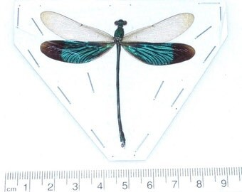 One Real Green Dragonfly Damselfly Mounted Packaged Insect Artwork Wholesale