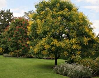 Golden Rain Tree Seeds, Koelreuteria paniculata - 25 Seeds