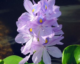 Water Hyacinth Photograph Purple Flower Art Nature Art Purple Home Decor