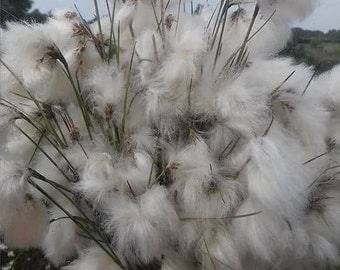 Dried Bog Cotton for Craft/jewelery making