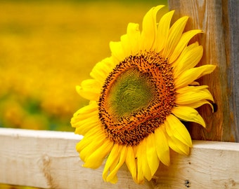 Sunflower on a Fence