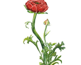 Ranunculus, botanical Watercolor, Fine art print