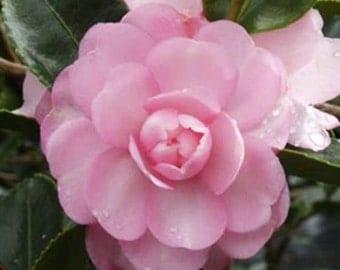 Pink Snow Camellia Sasanqua - Live Plant - Full Gallon Pot