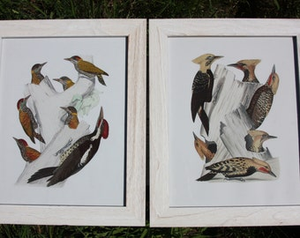 Framed historical prints-woodpeckers