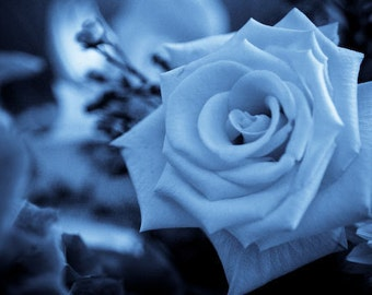Blue chises rose seeds, flower seeds, roses seeds, seeds for roses,roses from seeds,390,