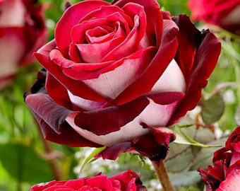 Red white rose flower seeds,gardening,10,flower roses seeds, roses from seeds,planting roses,growing roses from seeds,seeds for roses