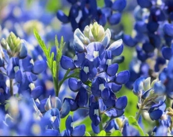 Season Sale! 1000 Count Freshly Picked Texas Bluebonnet Seeds FRAGRANT & GUARANTEED