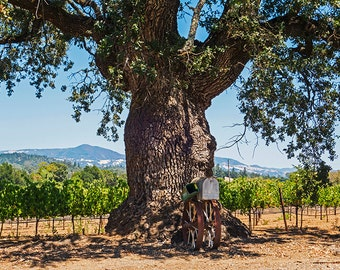 Sonoma Valley Tree California, Sonoma Valley, Sonoma County, Wine Country, Tree, Rustic, mountains, print, art, decor, photography