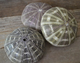 "Alfanso Sea Urchins, Gator Sea Urchins (3-4"")   1 Piece"