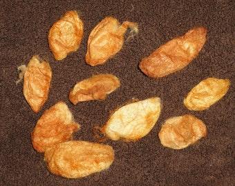 Red eri silk cocoons (Philosamima ricini) 7 g