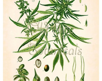 CANNABIS set of 3 Botanical Art Prints 8x10 SO0018