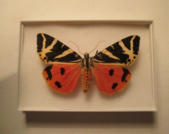 A preserved and mounted Jersey tiger moth.