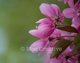 Apple Blossoms, spring, fine art photography, flower, pink, green, nature, card art, camera, decor, frameable art