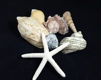 Natural Sea Shells, 7 Shells (7-4)