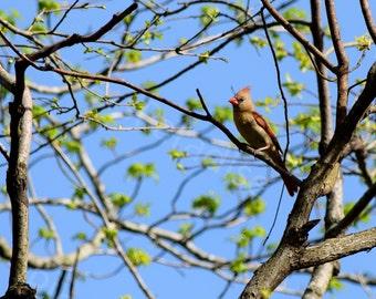 Female Cardinal Photograph // Cardinal Print // Bird Photography