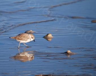 Snowy Plover Photograph // Shorebird Photo // Florida Nature Bird Photograph Print