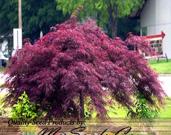 BURGUNDY LACE Matsumurae, Red - JAPANESE Maple Tree Seeds - Acer palmatum Burgundy Lace - Develops Full Canopy