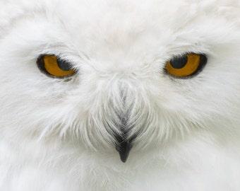 Snowy Owl Photograph Fine Art Limited Print