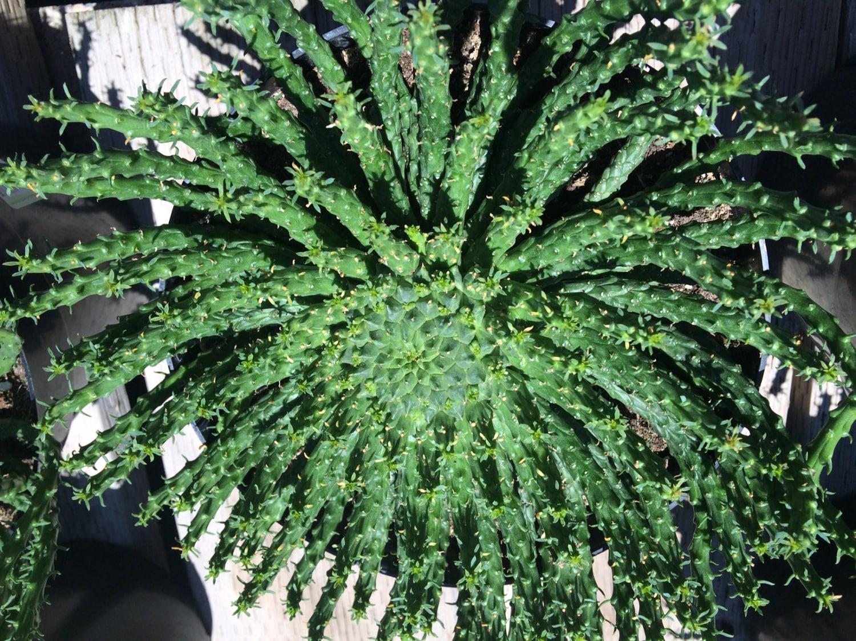 Cactus Plant. Mature Medusa\u0026#39;s Head Cactus. A very strange