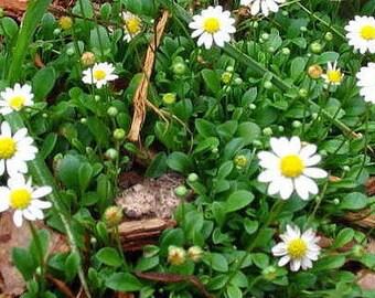 """World's Smallest Daisy - Bellium minutum - 2.5"""" Pot - Fairy Garden Plant"""