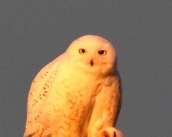 Snowy Owl with Attitude