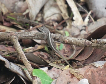 Brown Anole Lizard No. 1: Nature Photography