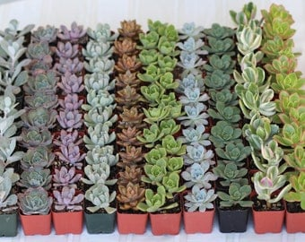130-- 2 inch Assorted Succulents for Wedding Favors. They are Rooted, Make perfect gift for Wedding or Shower Favors