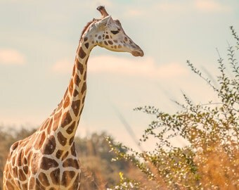 Giraffe Photograph, Color Print, Nature Photography, Wall Art, Color Fine Art Print