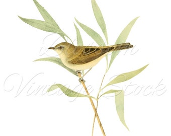 Bird on Branch Illustration, Vintage Print, Digital Image, PNG, Antique Illustration for printing,Digital artwork  INSTANT DOWNLOAD - 1236