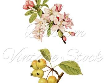 Blossom Floral Botanical Print, Vintage Fruit Illustration, Digital Image for print, digital artwork - INSTANT DOWNLOAD - 1386