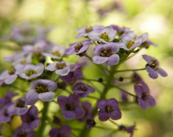 Small Purple and White Flowers Photograph #174