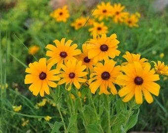 Yellow Daisies  scenic photograph