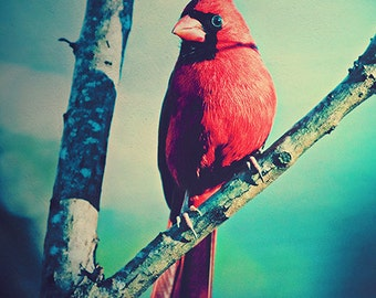 Cardinal Photo, Bird Photography, Tree Branch, Bird, Nature, Texture, Fauna, Red and Blue Decorative Print, Cardinal Photography
