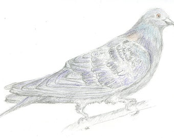 Pigeon Original Drawing - Rock Dove - Bird Art in Pencil