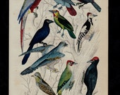 1850 Antique EXOTIC BIRDS print, parrot, toucan, woodpecker, parrots, macaw, quetzal. 166 years old hand colored engraving.