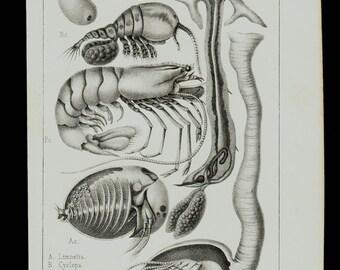 1874 Antique CRUSTACEAN print, Crustacean species shapes