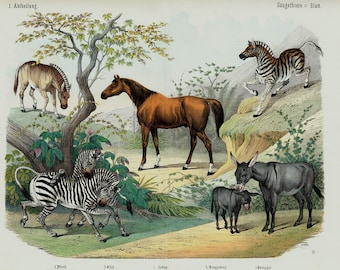 "1860 Rare Large amazing antique EQUINES print, Brown horse, donkey, zebra and quagga a extinct specie, 156 years old, size 17'' x 13"" inches"